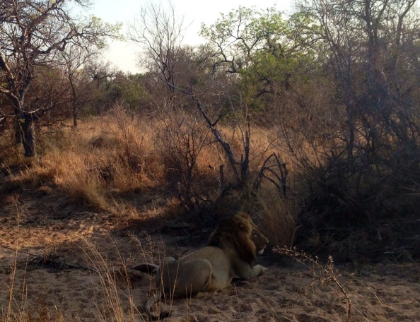 Löwe im Balule Game Reserve